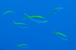 BD-150422-Maldives-7714-Caesio-xanthonota.-Bleeker.-1853-[Yellowback-fusilier.-Gulryggad-fysiljärfisk].jpg